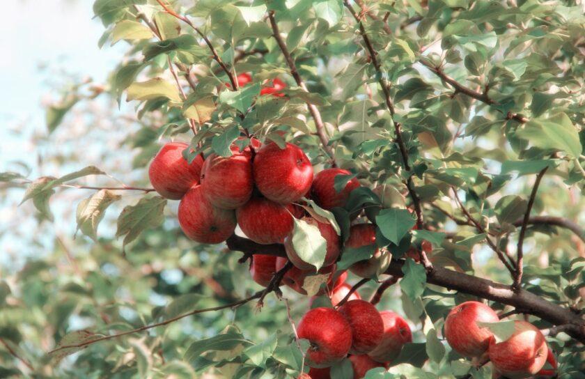 hình ảnh quả táo đang trên cây