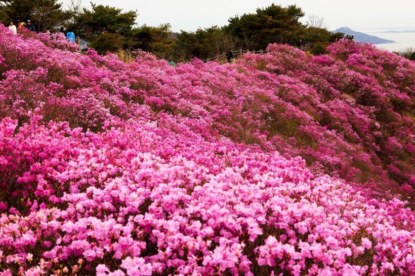 Hình ảnh rừng hoa đỗ quyên