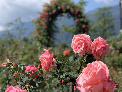 Hình ảnh thung lũng hoa hồng