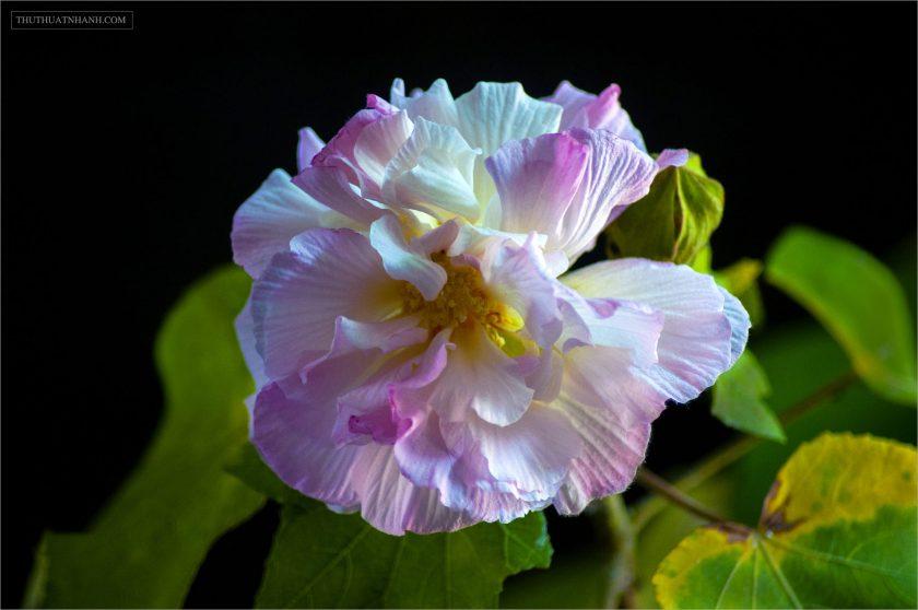hình ảnh ý nghĩa hoa phù dung