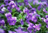 hinh anh y nghia hoa violet