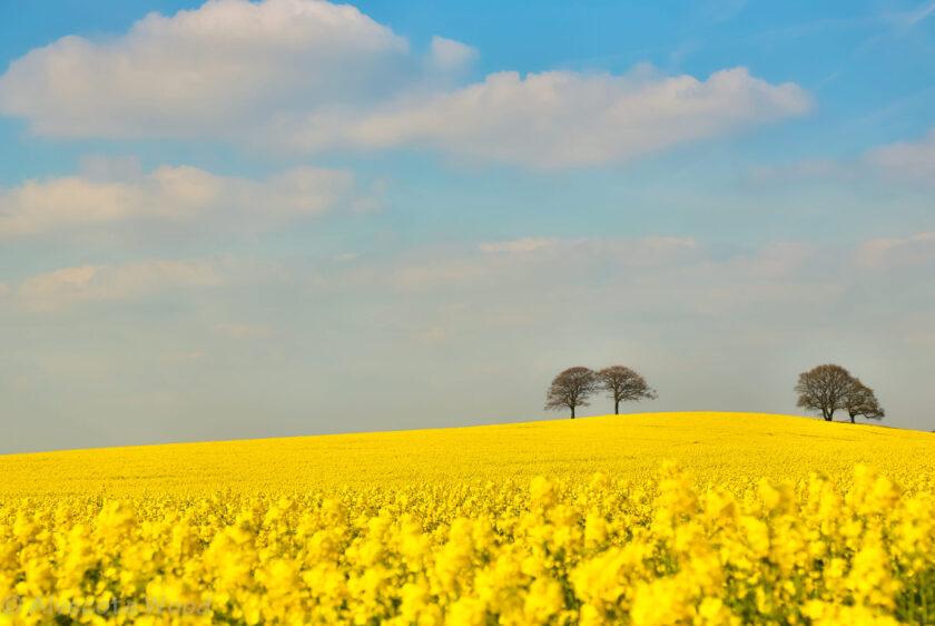 hình nền biển hoa màu vàng