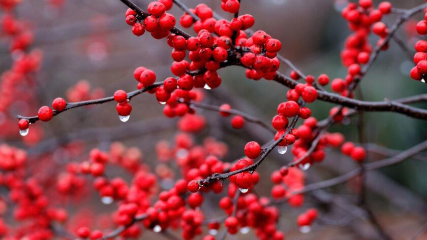 hình nền đỏ về quả đẹp