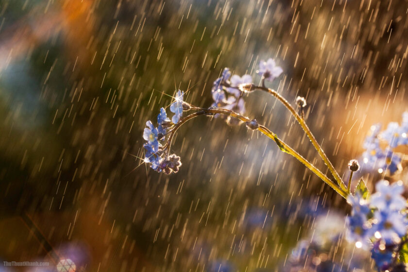 Forget-me-not flower in the rain