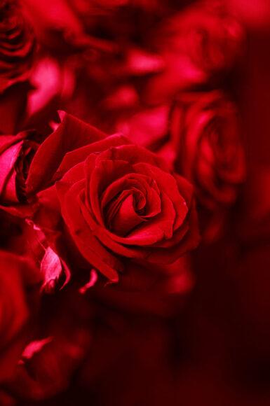 hình nền hoa hồng đỏ rực cho điện thoại