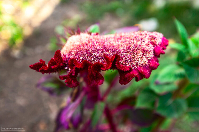 Red colourful Celosia Flower.