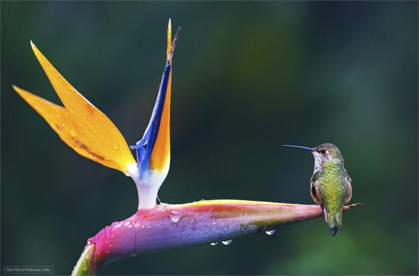 hình nền hoa thiên điểu và chú chim