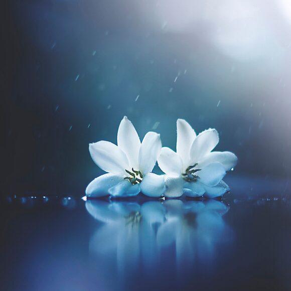 hình nền ipad đẹp về hai bông hoa