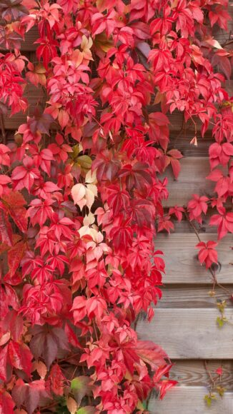 hình nền lá cây đỏ đẹp nhất