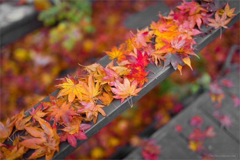 hình nền lá cây phong đỏ mùa thu