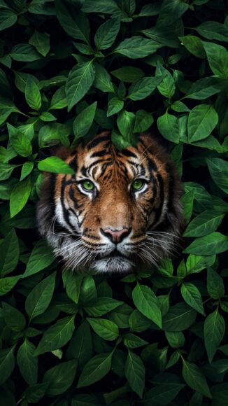 hình nền lá cây và con hổ