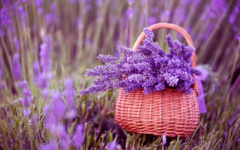 hình nền macbook hoa lavender đẹp