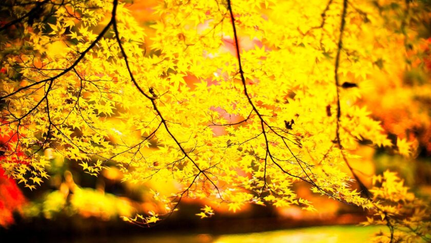 hình nền màu vàng đẹp lá cây