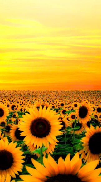 hình nền màu vàng đẹp về hoa hướng dương