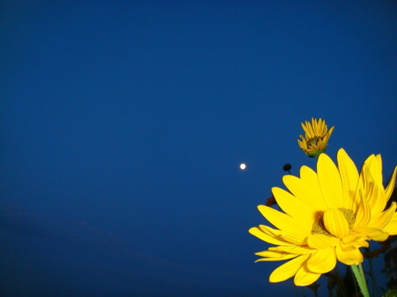 hình nền màu xanh dương về hoa