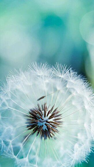 hình nền may mắn về hoa bồ công anh