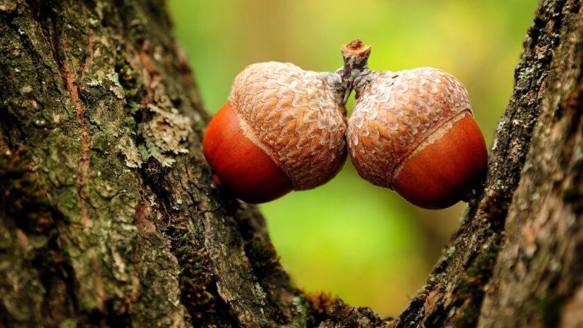 hình nền may mắn về quả sồi