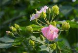 hình nền nhánh hoa phù dung