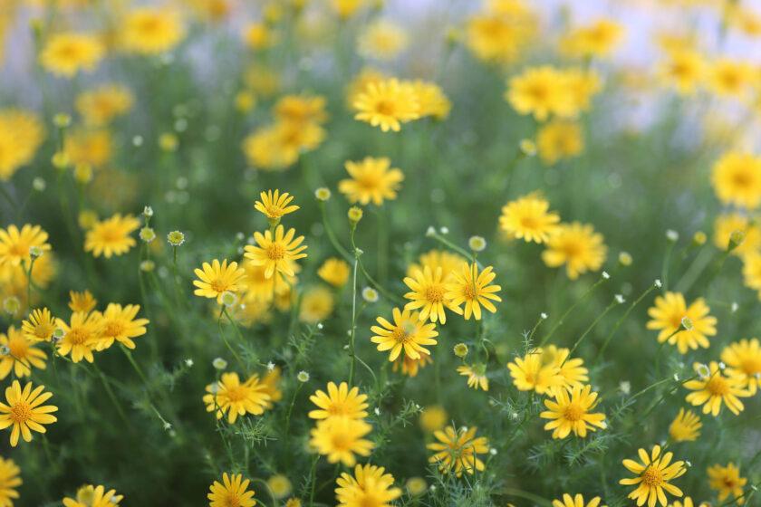 hình nền những bông hoa cúc vàng thanh tao