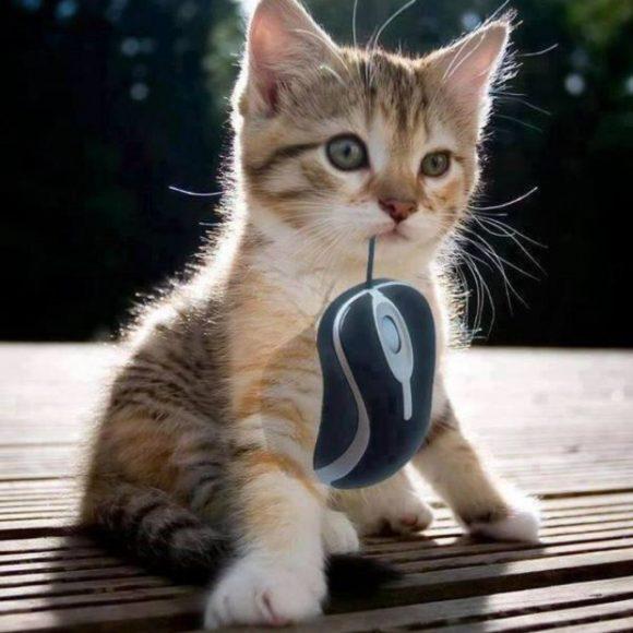 hình nền vui nhộn chú mèo ngậm chuột