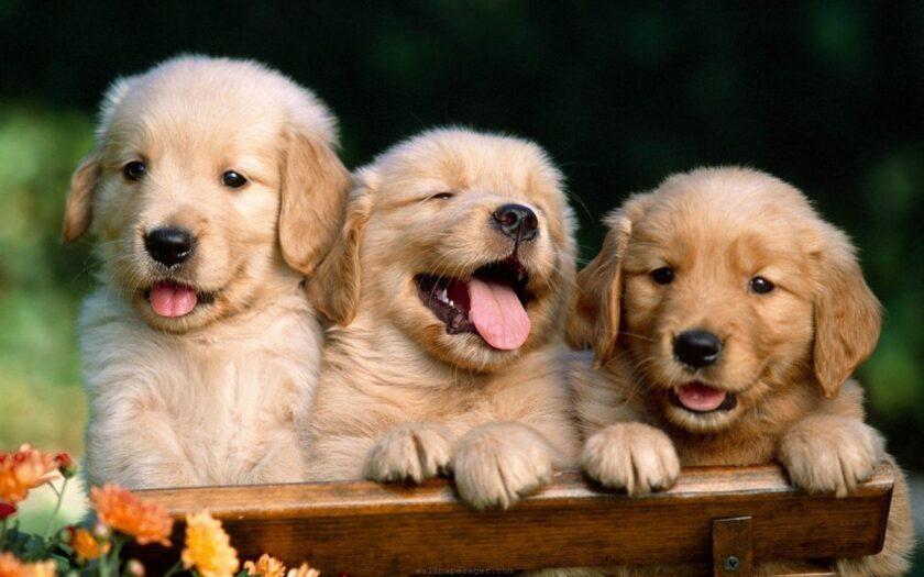 hình nền win 10 về ba chú chó đáng yêu