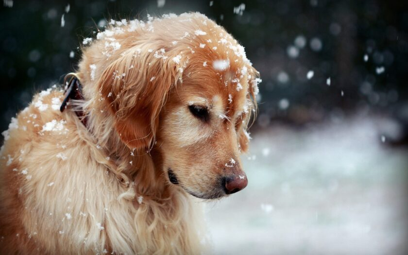 hình nền win 10 về chú chó trong thời tiết lạnh