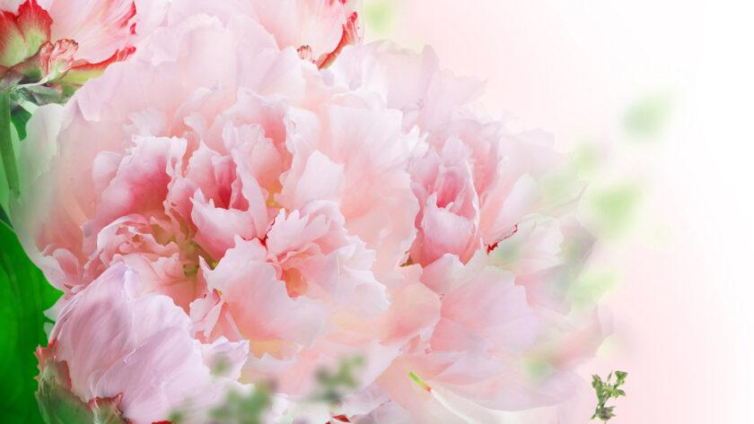 hình nền win 10 về hoa cẩm chướng hồng