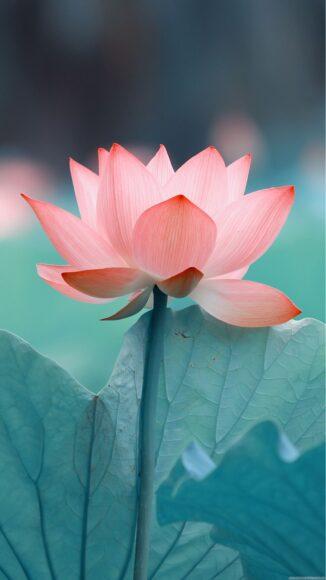 hình nền zalo đẹp về một bông hoa sen