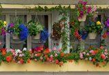 hoa dễ trồng sống lâu cho ban công