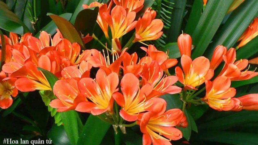 Hoa lan quân tử - Loài hoa đem lại tài lộc và may mắn
