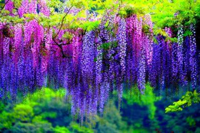 Hoa tử đằng - loài hoa của tình yêu bất diệt