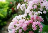 Hoa tường vi - Loài hoa mỏng manh nhưng đầy nhiệt huyết trong tình yêu