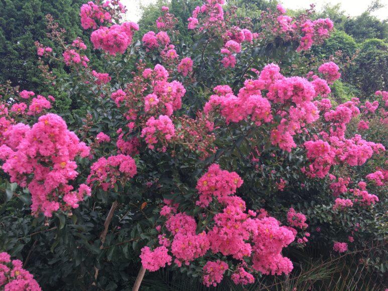 Sắc hồng hoa tường vi