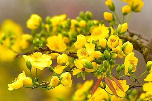 Sắc vàng hoa mai