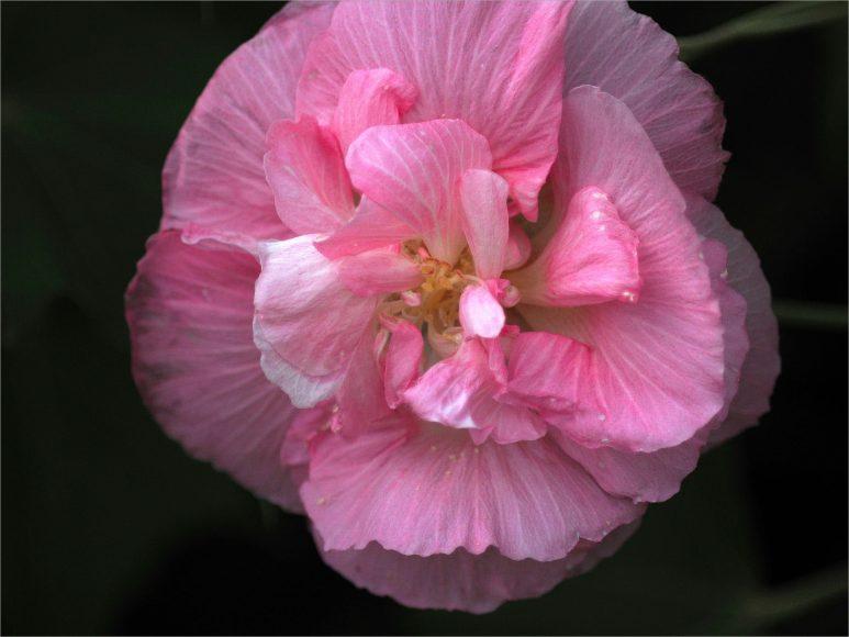 vẻ đẹp của đóa hoa phù dung