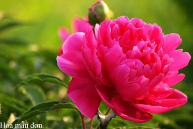 Ý nghĩa, hình ảnh đẹp của hoa mẫu đơn