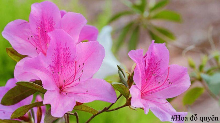 Ý nghĩa, hình ảnh về hoa đỗ quyên