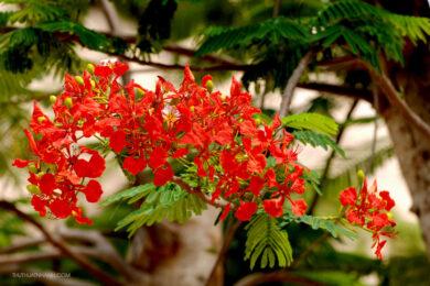 hình ảnh cây phượng