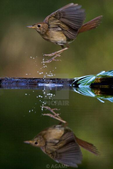 Hình ảnh chim họa mi bay trên mặt nước