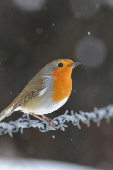 Hình ảnh chim họa mi hót trong mùa đông