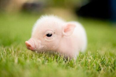 hình ảnh con lợn