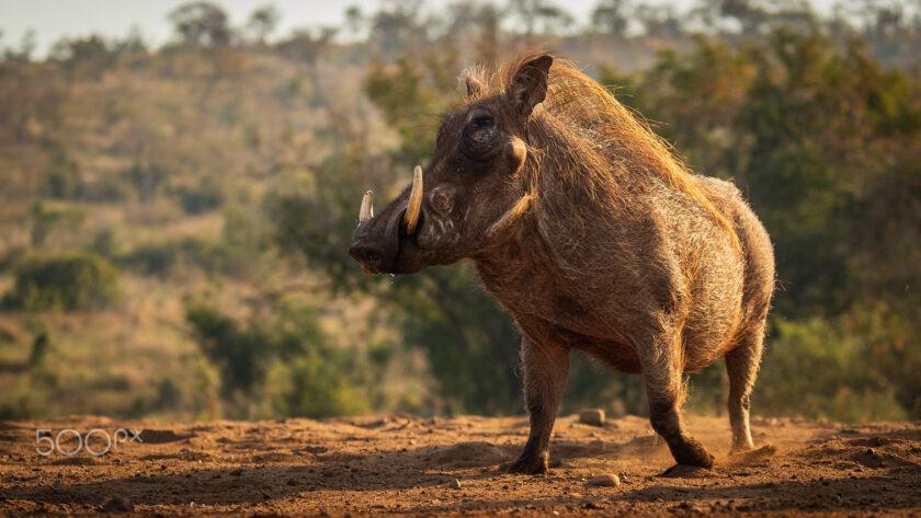 hình ảnh con lợn rừng