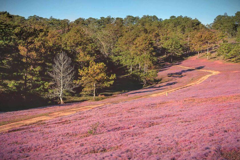 hình ảnh đà lạt đẹp với cánh đồng cỏ hồng