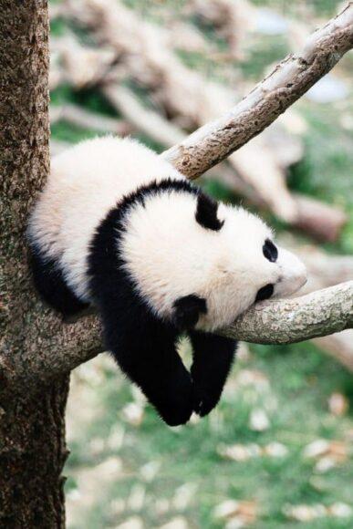 hình ảnh gấu trúc ngủ trên cây