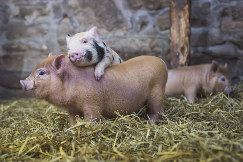hình ảnh hai con lợn con đáng yêu