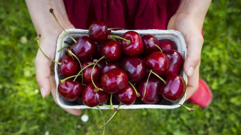 Hình ảnh quả cherry được thu hoạch bởi cô gái