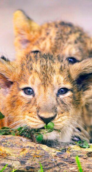 Hình ảnh sư tử con đáng yêu sắp chìm vào giấc ngủ