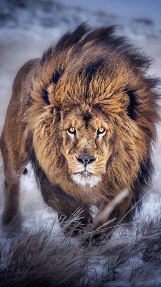 Hình ảnh sư tử đực dũng mãnh