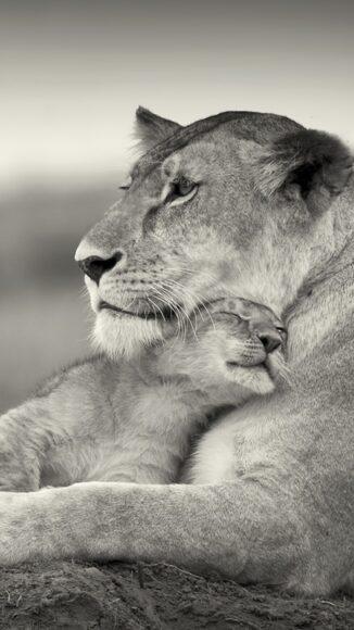 Hình ảnh sư tử mẹ đang ôm ấp con