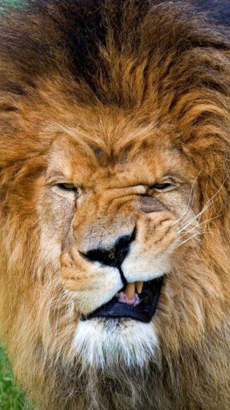 Hình ảnh sư tử với gương mặt nhăn nhó hài hước